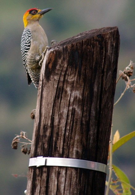 Woodpecker on Pole