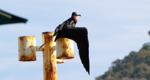 Frigatebird On Display